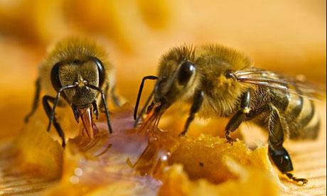 abejas extrayendo miel