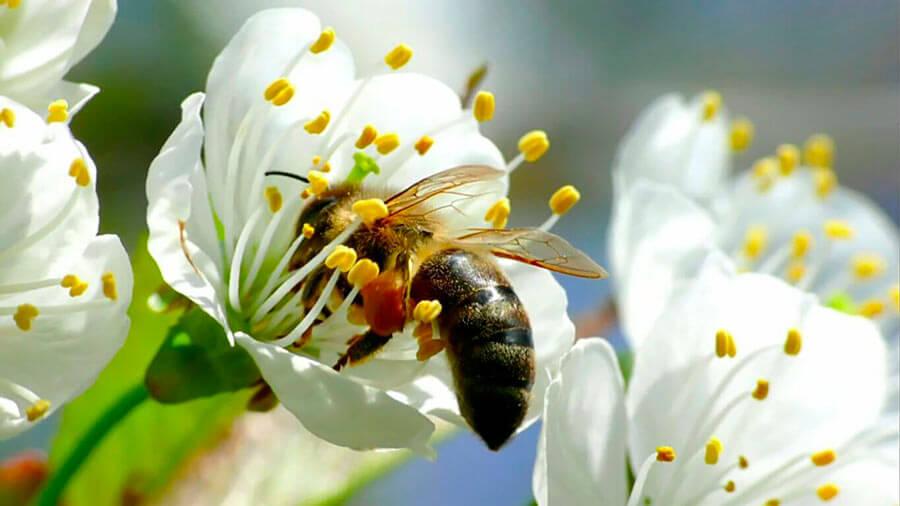 abeja extrayendo polen de flor