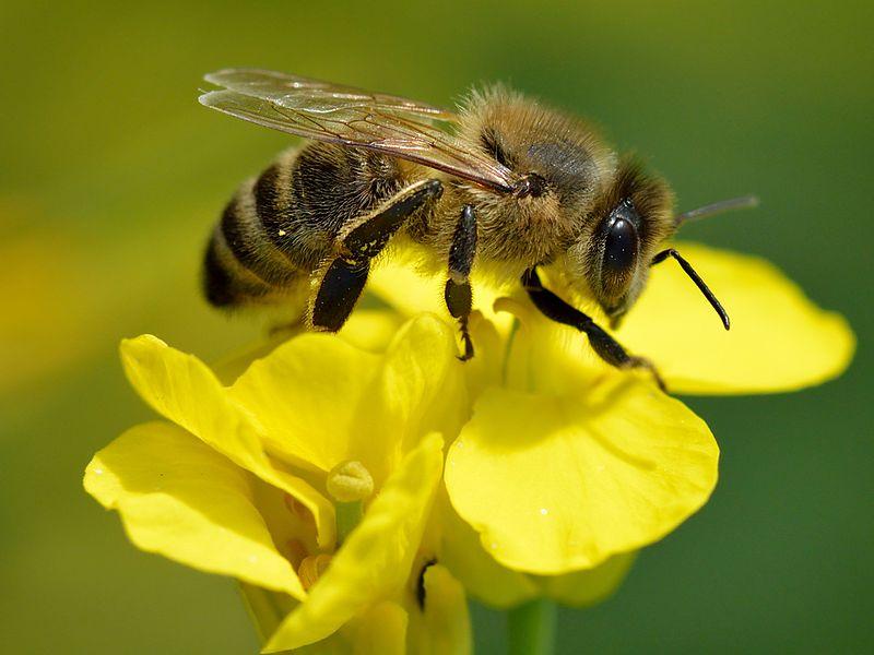 abeja europea extrayendo polen
