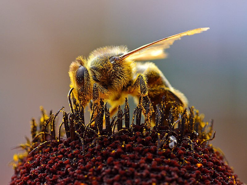 abeja apis mellifera