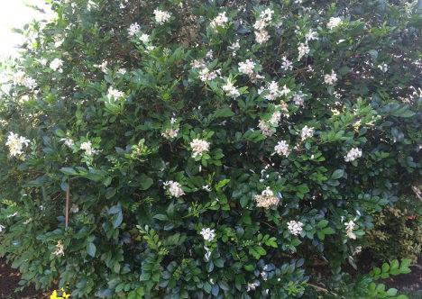 árbol flor miel de azahar