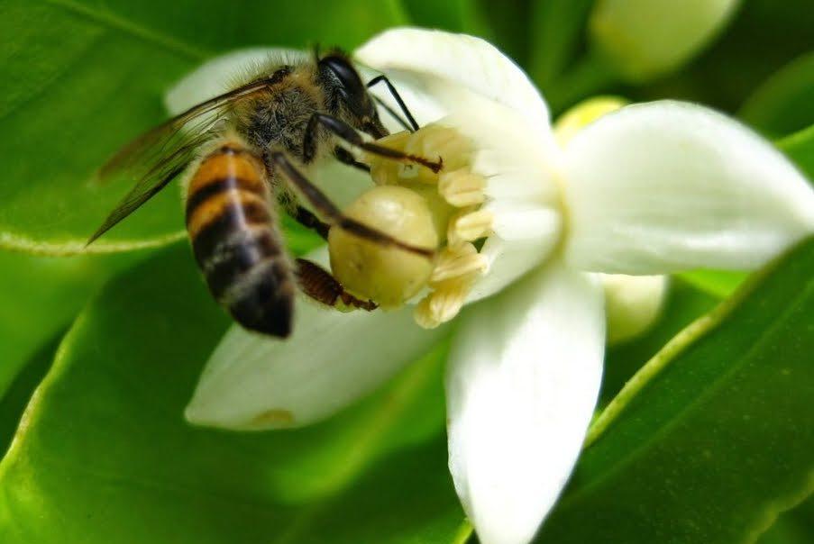 abeja en flor de azahar