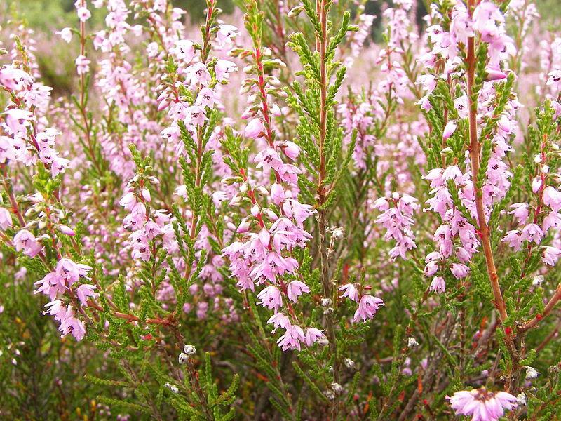 calluna vulgaris miel de brezo