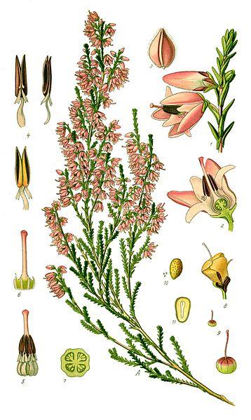 ilustración calluna vulgaris