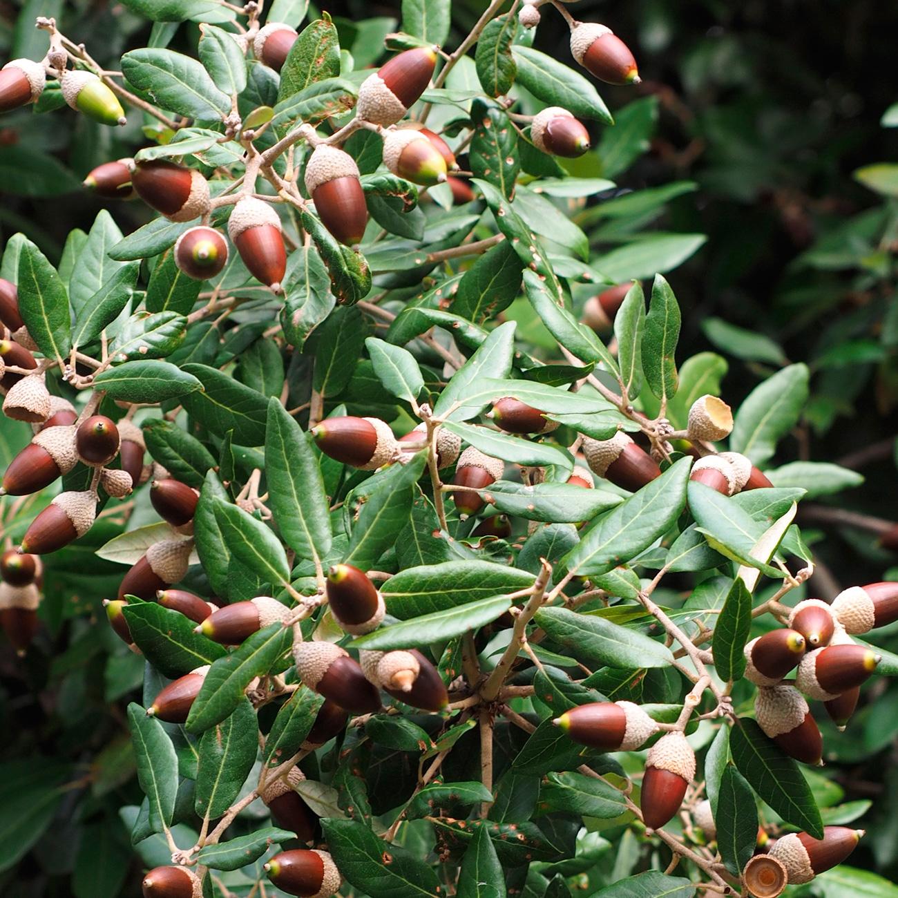 frutos del árbol de encina