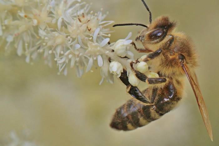 abeja libando flor de eucalipto