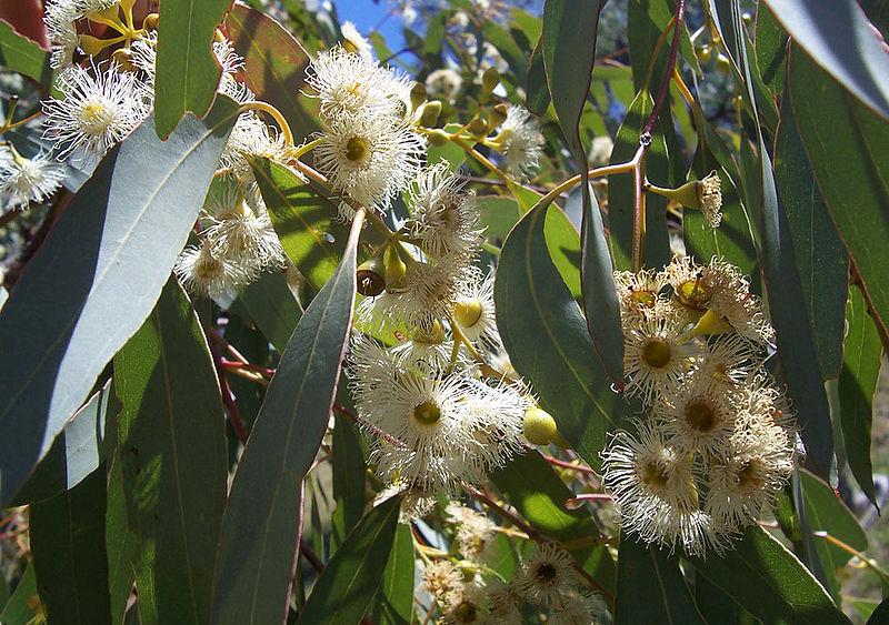 flores del árbol de eucalipto