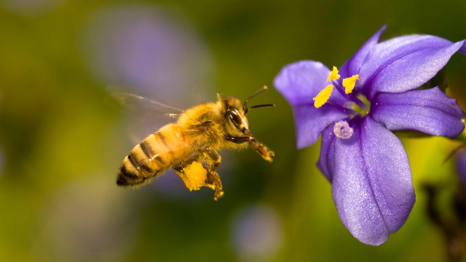 abeja libando flor