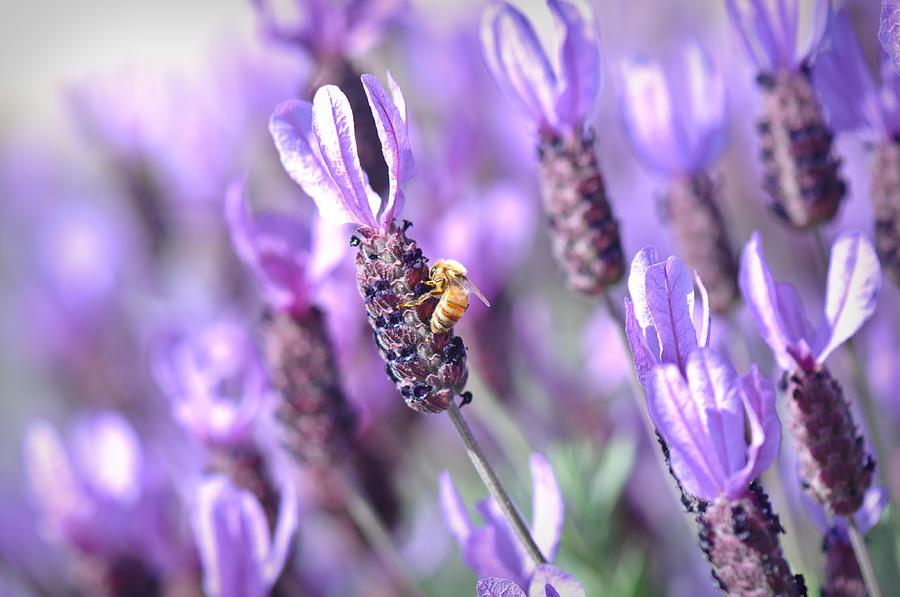 abeja libando en flor de lavanda