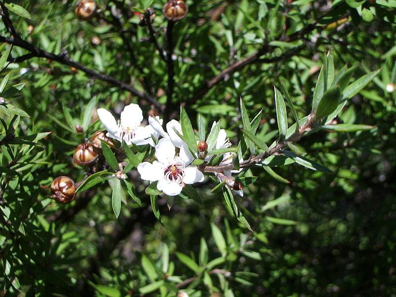 árbol miel de manuka nueva zelanda