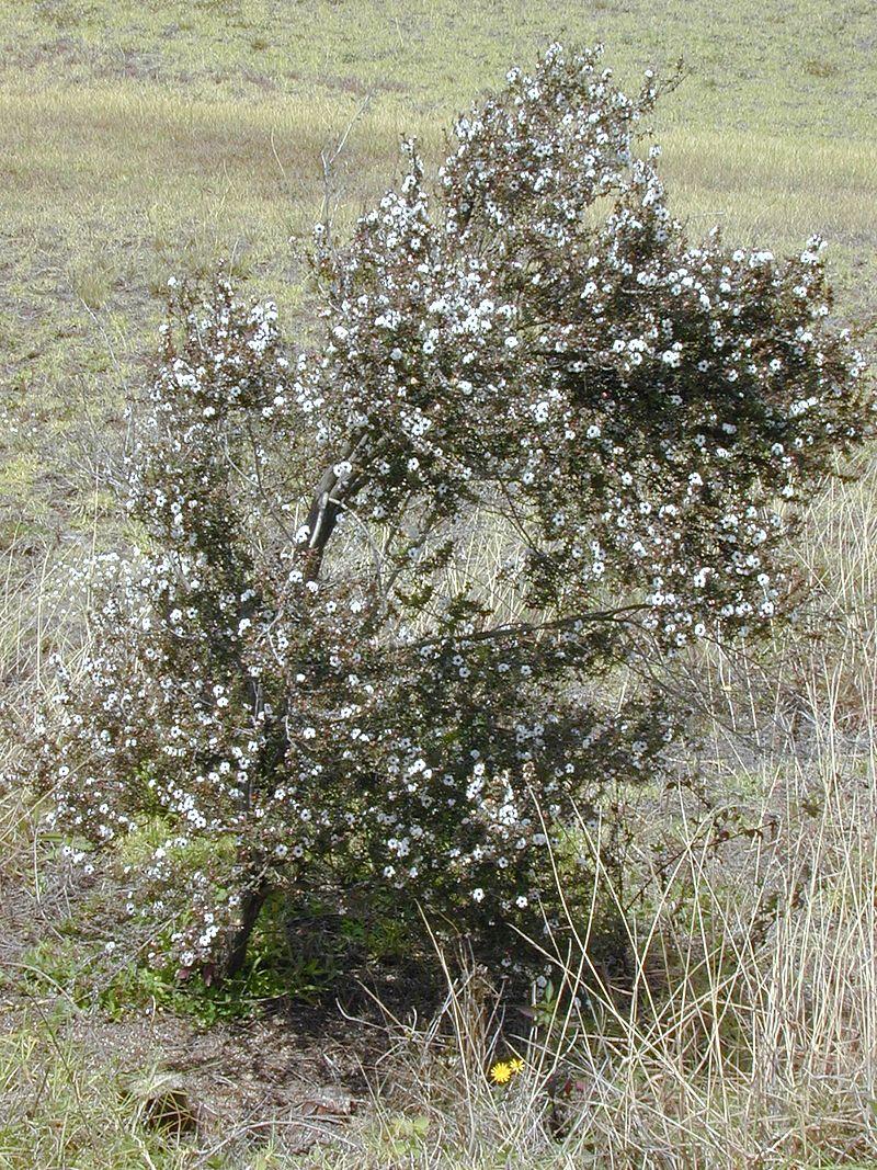 arbusto miel de manuka nueva zelanda