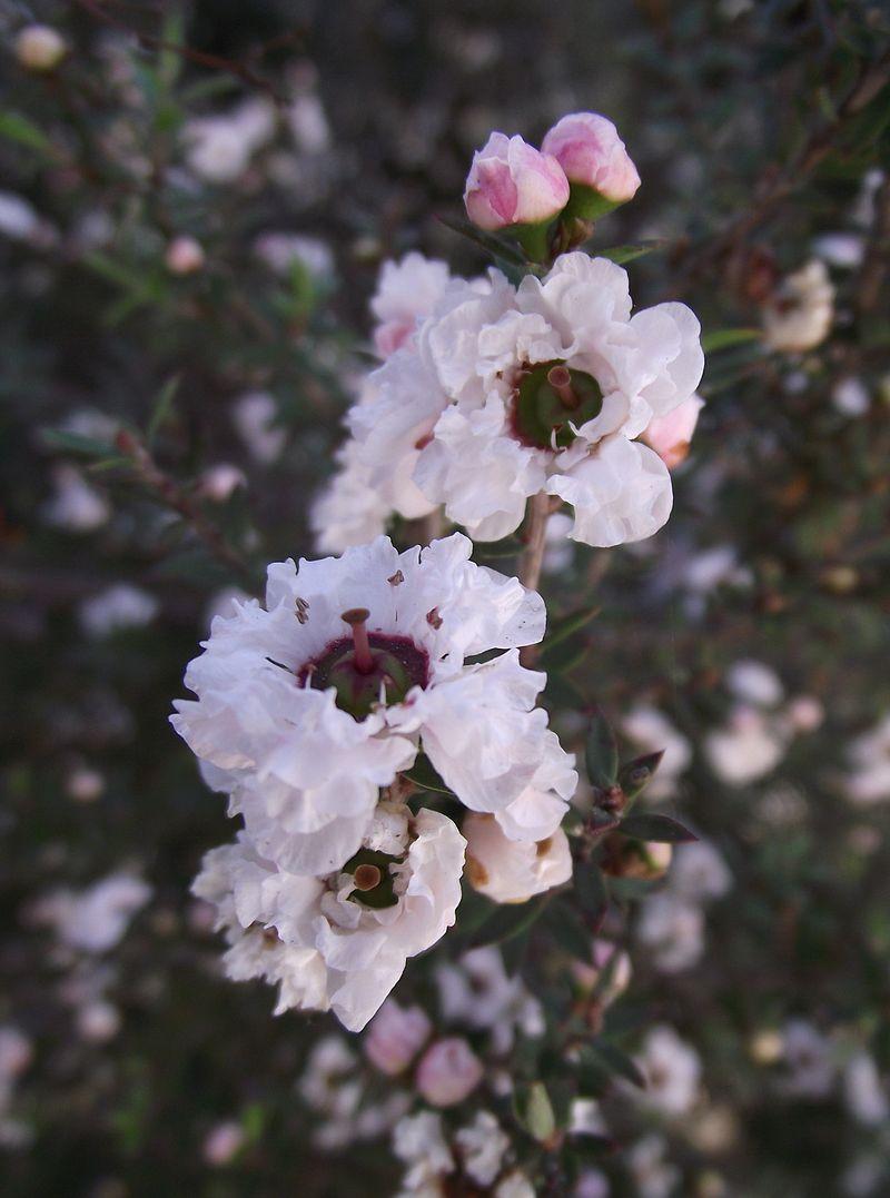 flores del arbusto miel de manuka oceanía