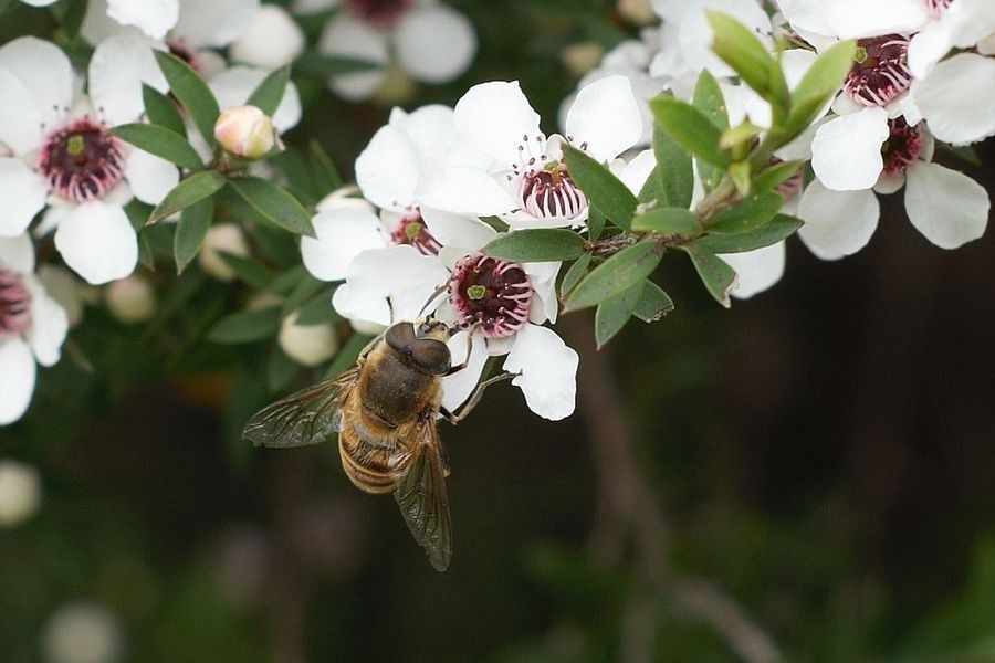 abeja extrayendo néctar de flor para hacer miel de manuka