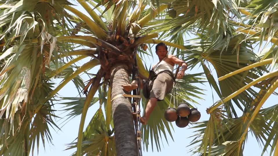 extracción de la miel de una palmera