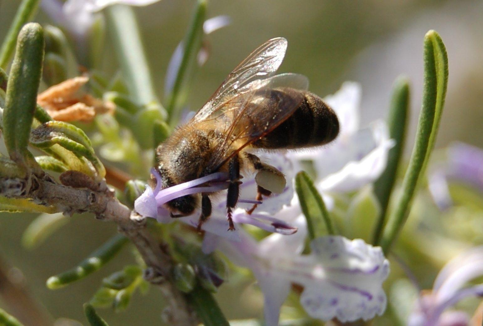 abeja néctar flor romero