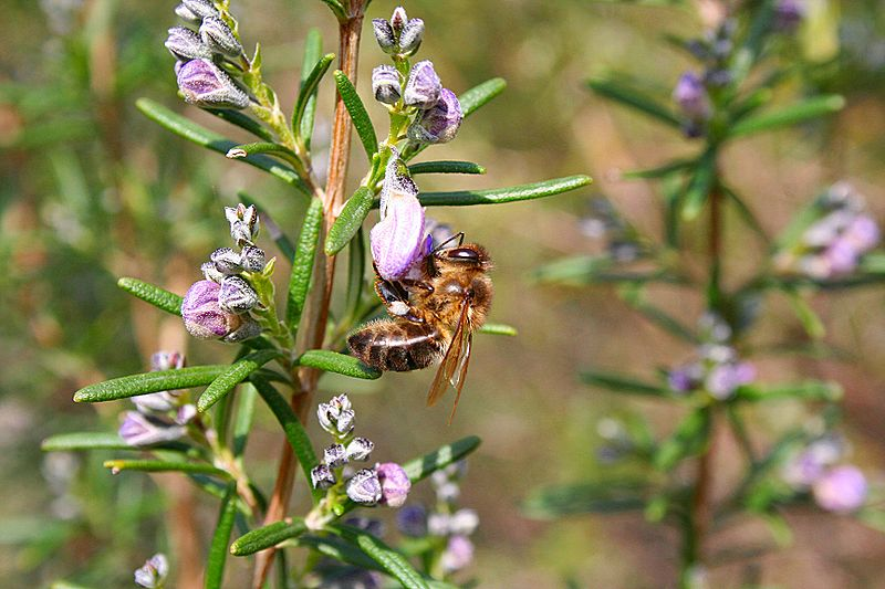 abeja extrayendo néctar flor de romero miel