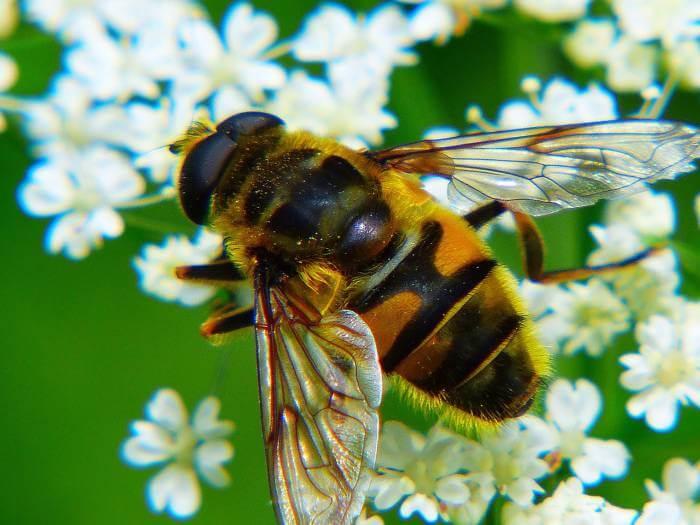 miel de tomillo abeja