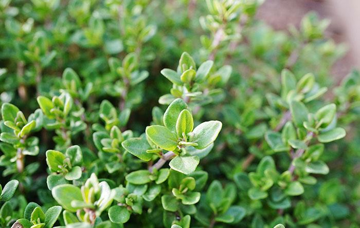 arbusto de tomillo
