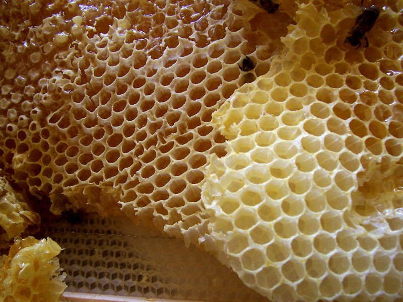 panal de las abejas con miel